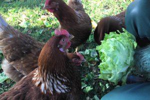 Eitjes van onze blije kippen...